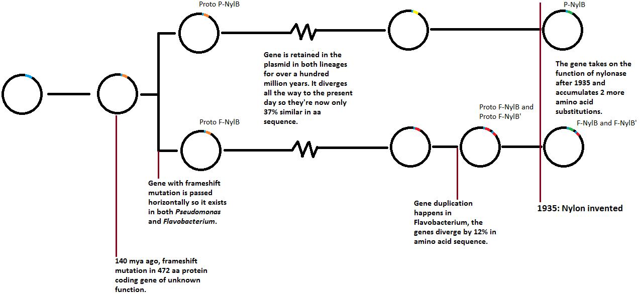 Rumracket - nylonase gene timeline